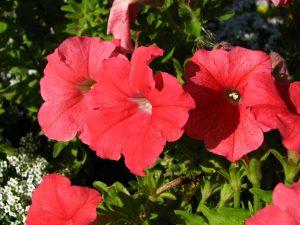Petunia_hybr._(red)_01