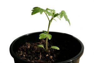 tomato-seedling-b