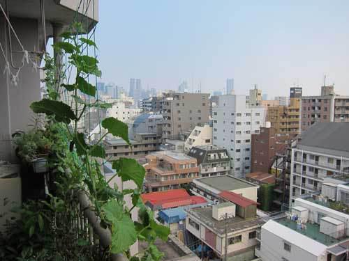 Vyrashchivanie-ogurtcov-na-balkone