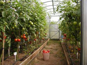 vysokoroslye-tomaty-schitayutsya-optimalnym-variantom-dlya-tepli