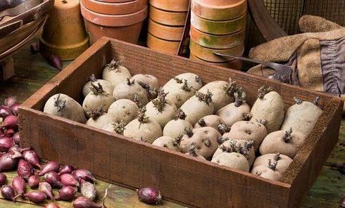Яровизация картофеля перед посадкой
