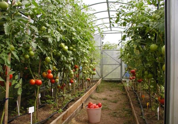 teplica-s-tomatom
