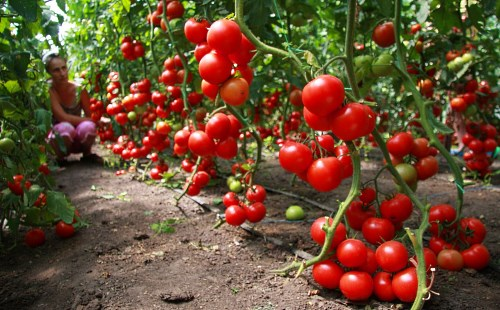 determinantnyy-sort-pomidor-1