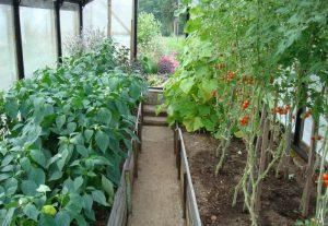 pomidory-i-perets-v-odnoy-teplitse-otlichno-uzhivayutsya