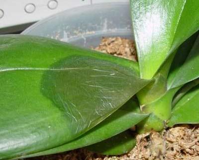 болезни орхидей фаленопсис фото и их лечение