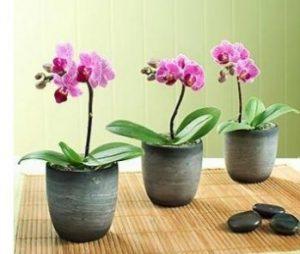 3-mini-phalaenopsis-orchid-indoor-plant.365