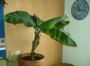 bananovaya-palma-v-gorshke
