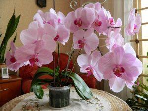 phalaenopsis-rosea