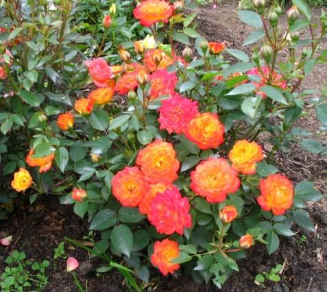 rose_multiflora-