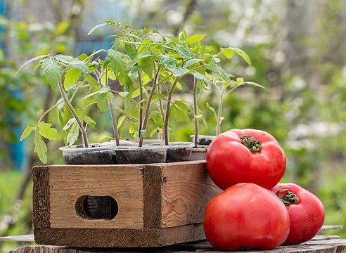 Когда-сеять-помидоры-на-рассаду-в-2016-году-по-Лунному-календарю