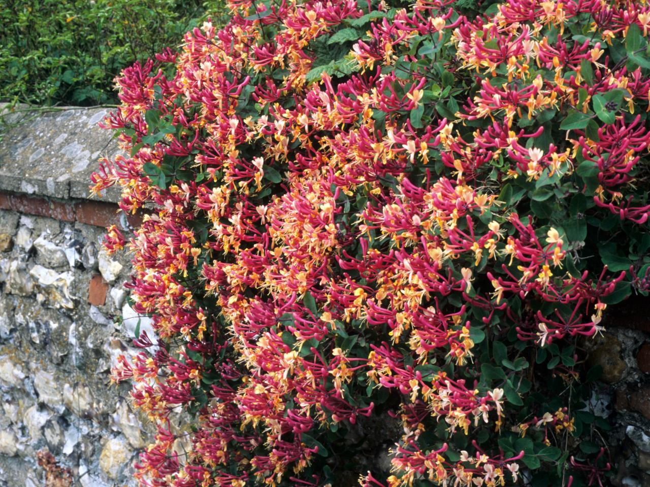Плетущиеся садовые цветы фото с названиями