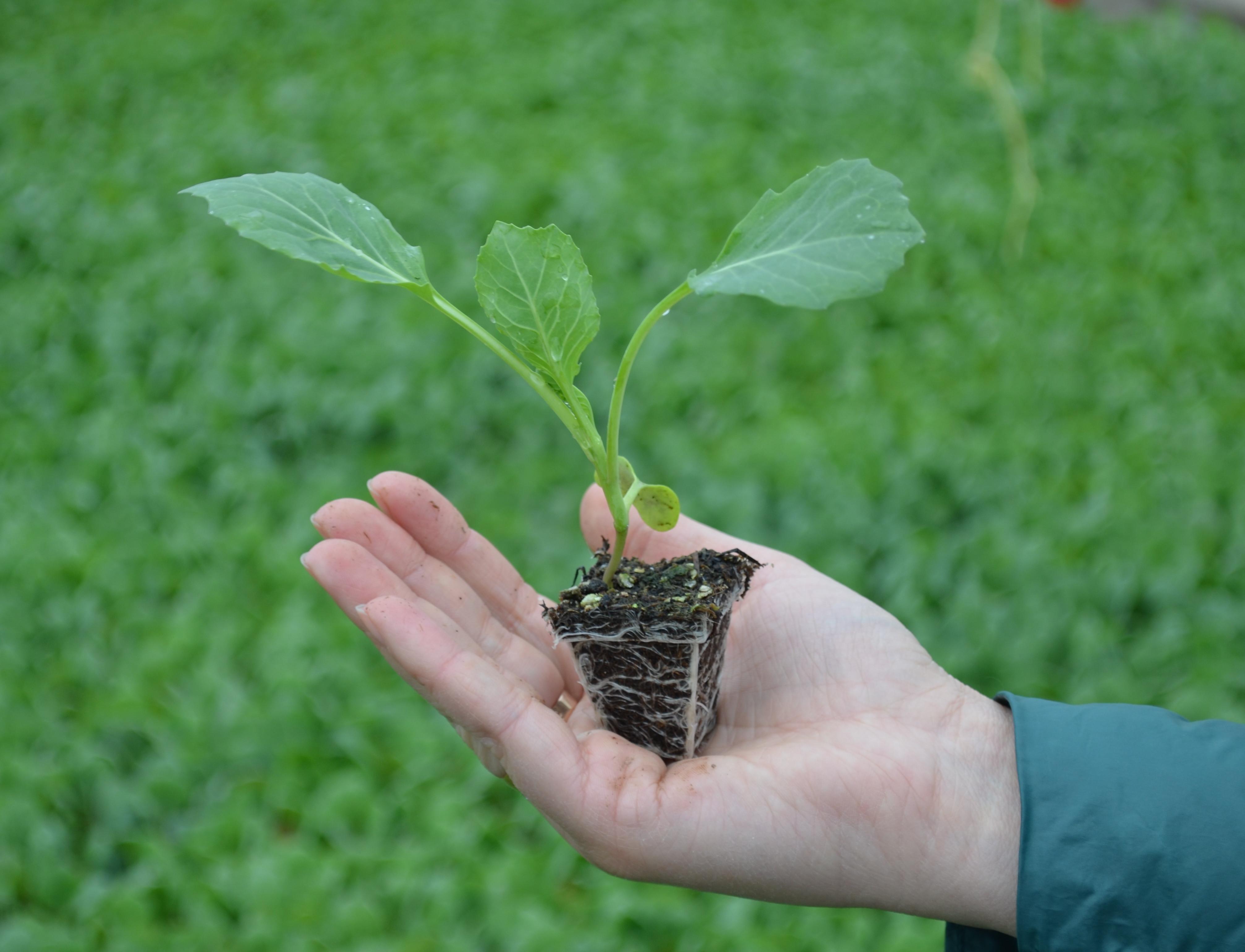 Чем сажать лук на рассаду