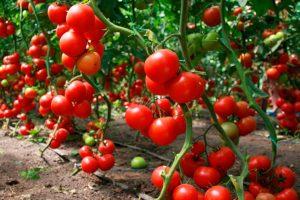 tomati-v-teplice