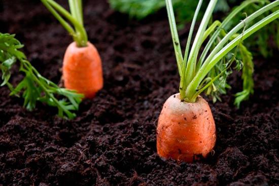 viraschivanie-morkovi