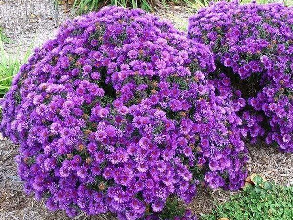 Садовые многолетние цветы с названиями и фото