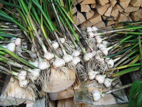garlic1_2