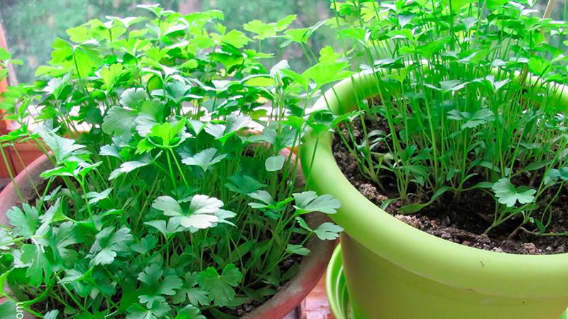 kak-vyrastit-na-balkone-zelen1