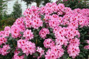 rododendron-diadem