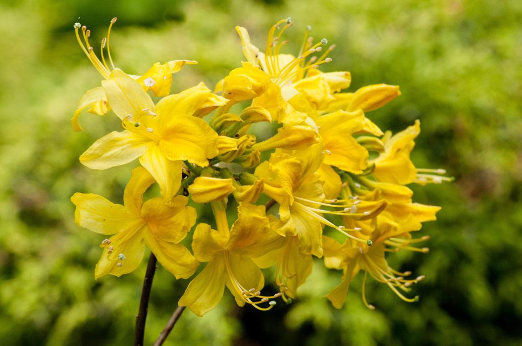rododendron_geltiy_02