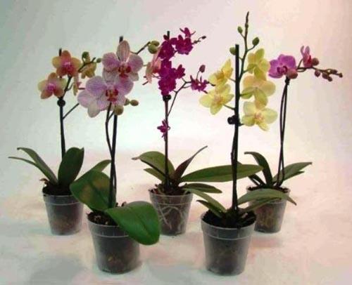 Как ухаживать за phalaenopsis орхидеей в домашних условиях