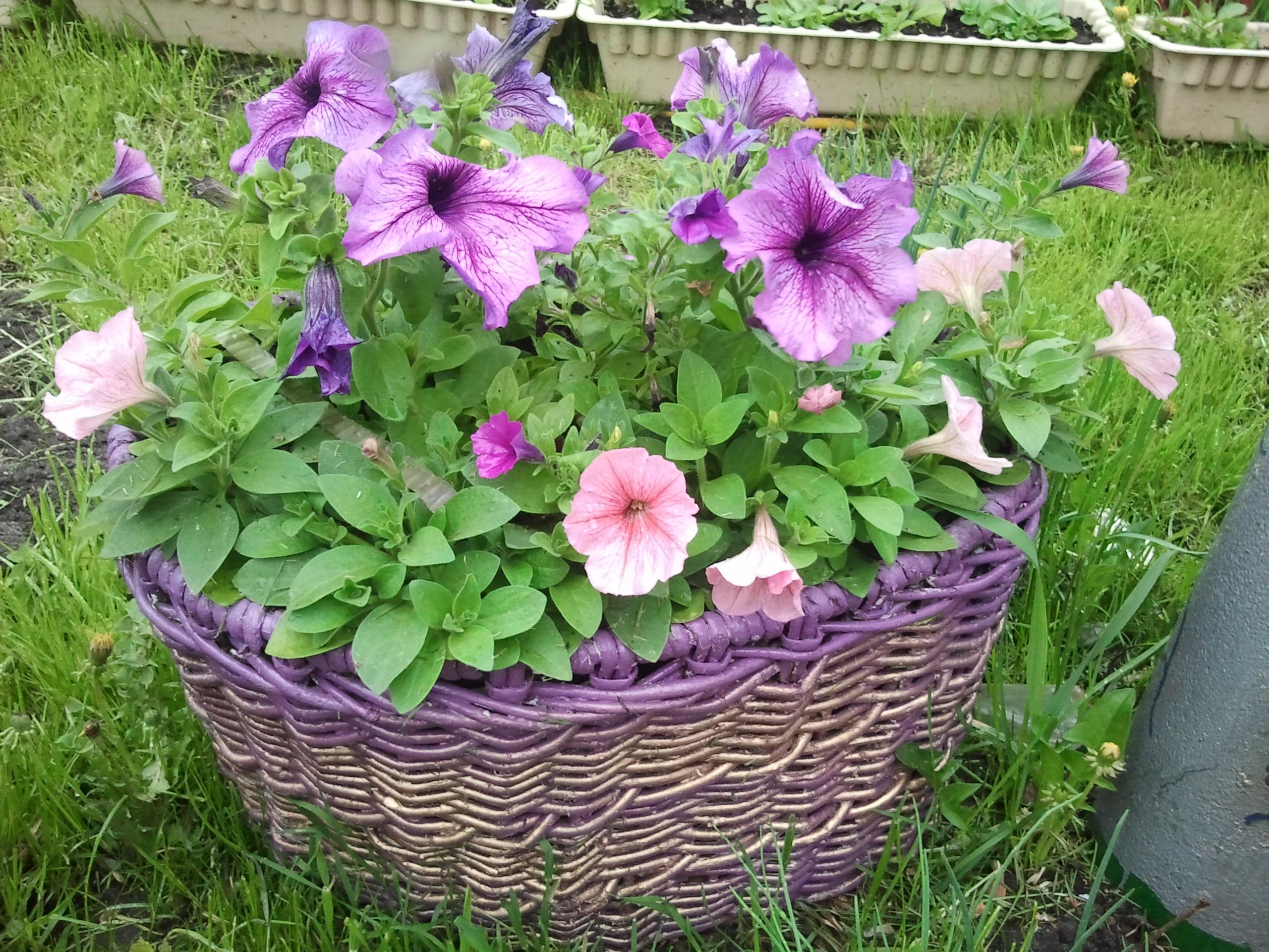 Однолетние цветы цветущие все лето каталог фото