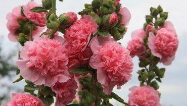 шток-розы