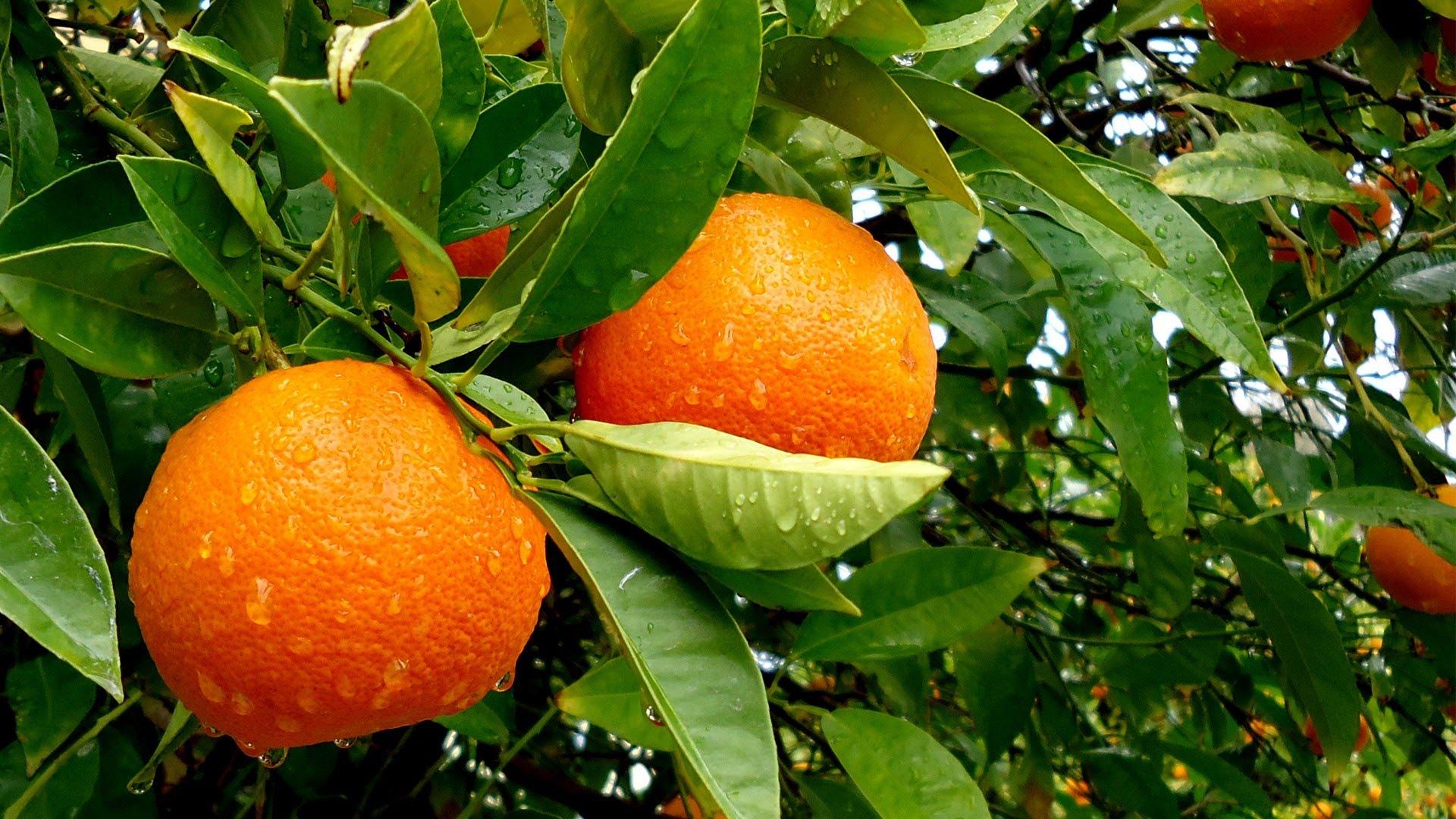 Домашний мандарин из косточки: от А до Я. Уход и выращивание