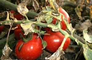 Болезни томатов в теплице. (Фото и их лечение)