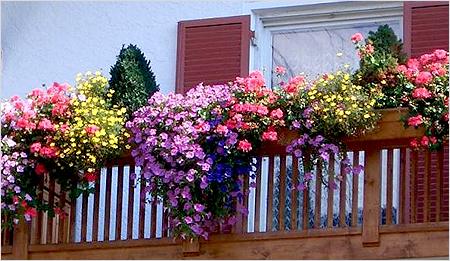 Цветы для балкона фото и названия