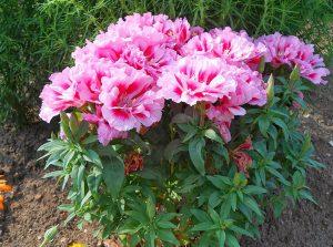 godeciya_in_the_garden_0