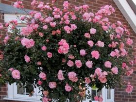 poliantovye-rozy