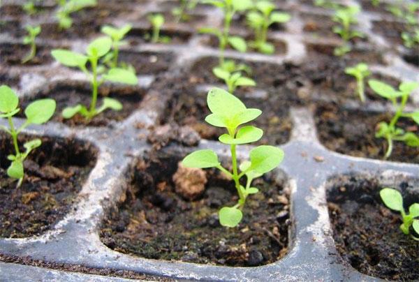 Цинии из семян в домашних условиях