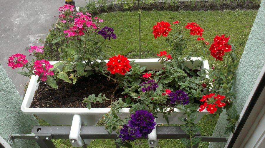 Какие цветы посадить на балконе чтобы цвели все лето.