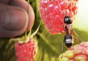 муравьи в теплице как от них избавиться