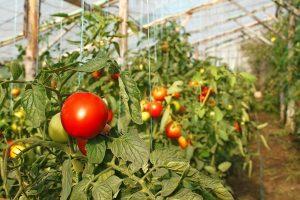 посадка помидоров в теплицу требует грамотного подхода