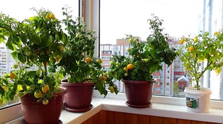 Помидоры на балконе: выращивание пошагово, как вырастить в 51