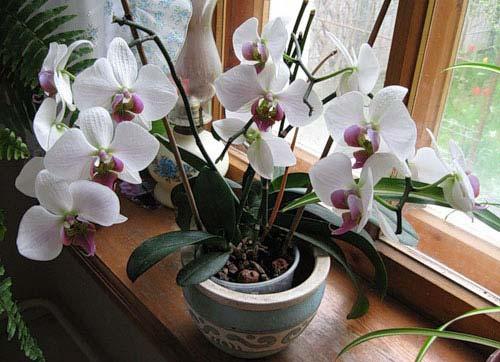 Как ухаживать за орхидеями в домашних условиях в горшке?