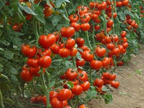Как ухаживать за помидорами в теплице из поликарбоната