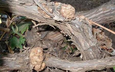 Бактериальный рак винограда(1)