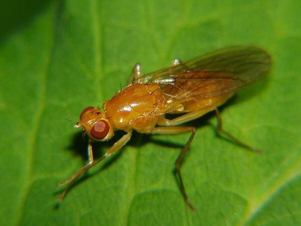 морковная муха как бороться народными средствами