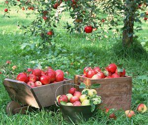 болезни яблони фото и борьба с ними