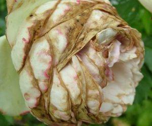 Болезни роз фото описание и лечение