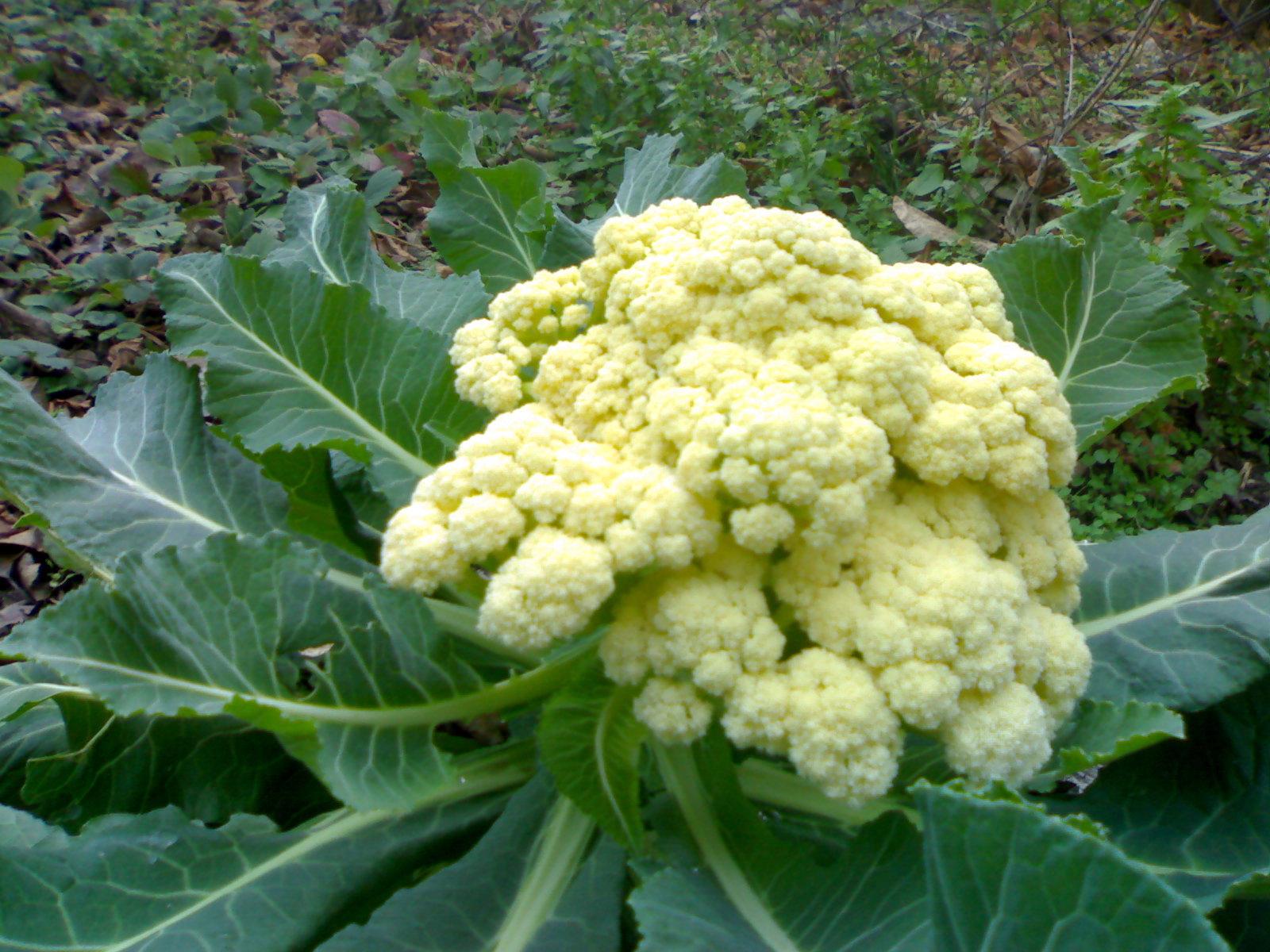 выращивание цветной капусты в открытом грунте видео