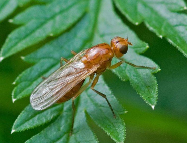 морковная муха как с ней бороться нашатырным спиртом