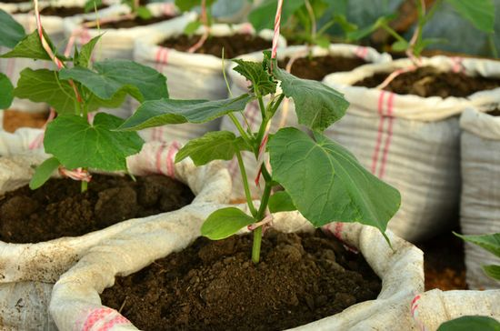 огурцы в мешках выращивание пошагово