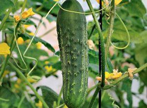 Чем подкормить огурцы во время цветения и плодоношения