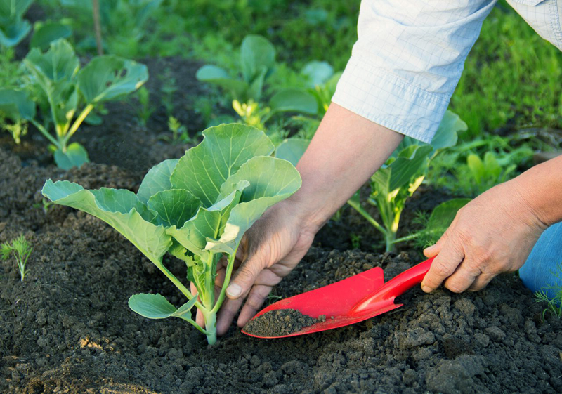 Выращивания цветной капусты в открытом грунте 46