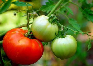 что сделать чтобы помидоры быстрее краснели в теплице