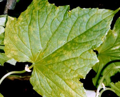 Почему желтеют листья у огурцов в открытом грунте, что делать?