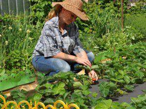клубника после сбора урожая что делать